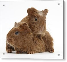 Baby Guinea Pigs Acrylic Print by Mark Taylor