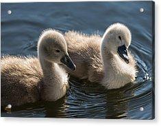 Baby Swans Acrylic Print by Michael Mogensen
