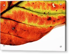 Backlit Autumnal Leaf Acrylic Print by Mauro Fermariello/science Photo Library