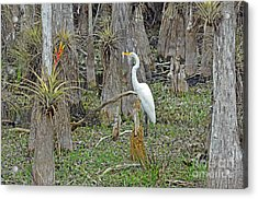 Bald Cypress Swamp With Great Egret Acrylic Print by John Serrao
