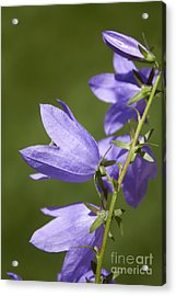 Balloon Flowers Acrylic Print by Tony Cordoza