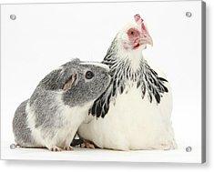 Bantam Hen And Guinea Pig Acrylic Print by Mark Taylor