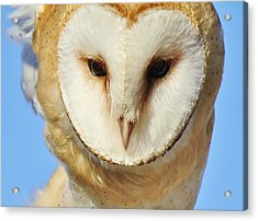 Barn Owl Up Close Acrylic Print by Paulette Thomas