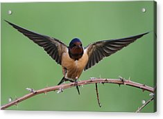Barn Swallow Acrylic Print by Angie Vogel