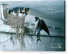 Barn Swallows Acrylic Print by Hans Reinhard