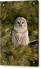 Barred Owl In A Pine Tree. Acrylic Print