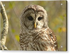 Barred Owl Acrylic Print by Nancy Landry