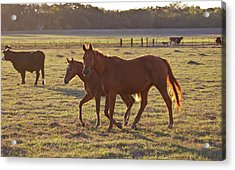 Bay-colored Riding Horses On Ranch Acrylic Print