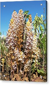 Bean Broomrape On Broad Bean Crop Acrylic Print by Bob Gibbons