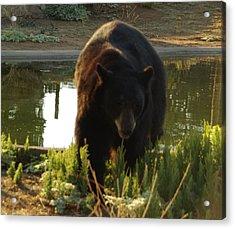 Bear 1 Acrylic Print