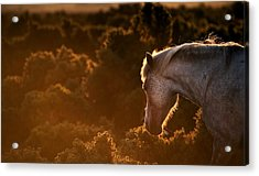Beautiful Image Of New Forest Pony Horse Backlit By Rising Sun I Acrylic Print by Matthew Gibson