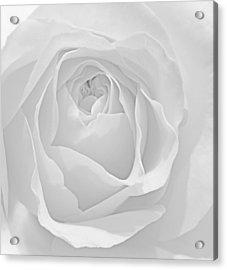 Beautiful Macro Close Up Of Fresh Sprring Rose Flower With Vibra Acrylic Print by Matthew Gibson
