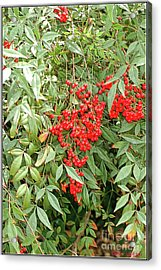 Berry Bush Acrylic Print by Kathleen Struckle