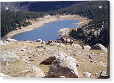 Big Horn Sheep Gang Acrylic Print