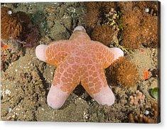 Big-plated Sea Star Acrylic Print