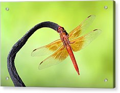 Big Red Skimmer Dragonfly Acrylic Print by Robert Jensen
