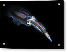 Bigfin Reef Squid Acrylic Print by Ethan Daniels