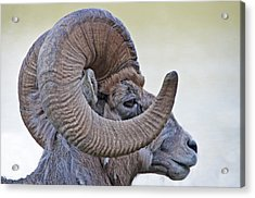Acrylic Print featuring the photograph Bighorn Mountain Sheep 1 by Dennis Cox WorldViews
