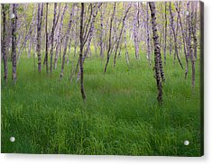Birch Trees In The Great Meadow, Acadia Acrylic Print by Panoramic Images