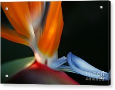 Bird Of Paradise Acrylic Print by Sharon Mau
