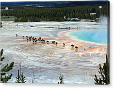 Bison Crossing Edge Of Grand Prismatic Spring In Yellowstone National Park Acrylic Print