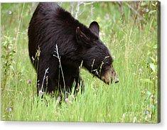 556p Black Bear Acrylic Print