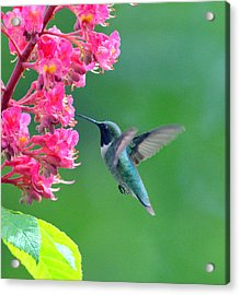 Black Chinned Hummingbird Acrylic Print
