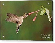 Black-chinned Hummingbird Acrylic Print by Scott Linstead