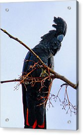 Acrylic Print featuring the photograph Black Cockatoo by Debbie Cundy