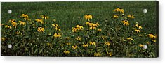 Black-eyed Susan Flowers Rudbeckia Acrylic Print by Panoramic Images