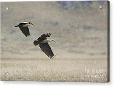Black-faced Ibis Acrylic Print