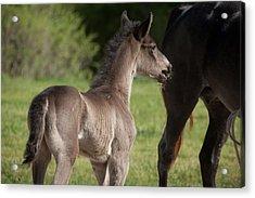 Black Foal Acrylic Print