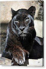 Black Leopard Acrylic Print by Savannah Gibbs
