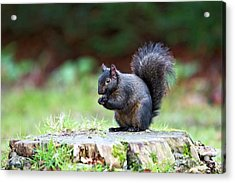 Black Squirrel Eating A Nut Acrylic Print