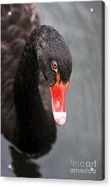 Black Swan Acrylic Print by Jorgo Photography - Wall Art Gallery