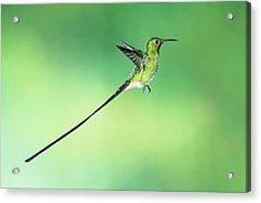 Black-tailed Trainbearer Hummingbird Acrylic Print by Tony Camacho/science Photo Library