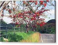 Blooming Flamboyan Trees Along A Country Road Acrylic Print