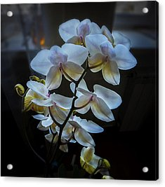 Blooming Orchid Acrylic Print by Vladimir Kholostykh
