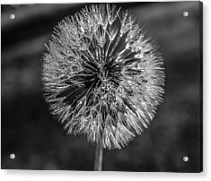 Blow Acrylic Print by Steven  Taylor