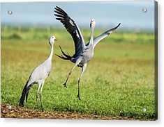 Blue Cranes Acrylic Print