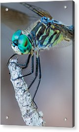 Acrylic Print featuring the photograph Blue Dasher Dragonfly by Jeanne May