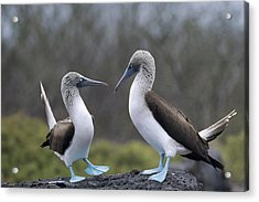 Blue-footed Boobies Courting Galapagos Acrylic Print by Tui De Roy