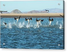 Blue-footed Boobies Feeding Acrylic Print by Christopher Swann