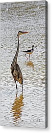 Blue Heron And Stilt Acrylic Print