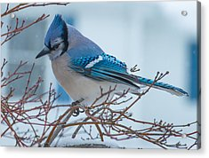 Blue Jay Acrylic Print by Phil Abrams