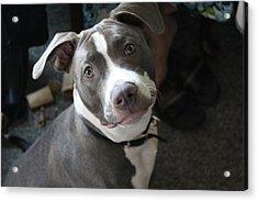Blue Nose Pit Bull Terrier Acrylic Print by Khoa Luu