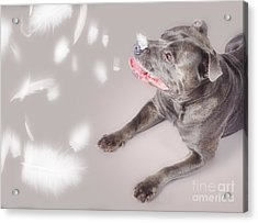 Blue Staffie Dog Watching Floating Feathers Acrylic Print by Jorgo Photography - Wall Art Gallery