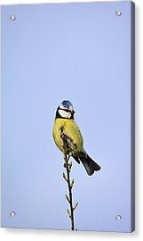 Blue Tit  Acrylic Print by Tommytechno Sweden