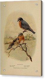 Bluebirds Acrylic Print by Philip Ralley