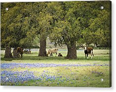 Bluebonnets And Bovines Acrylic Print